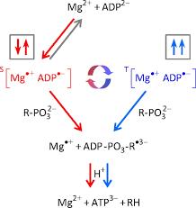 Mg-ATP