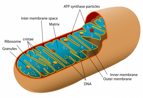 Mitochondrion organelle
