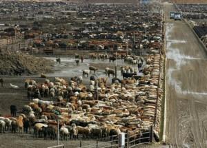 Beef farm