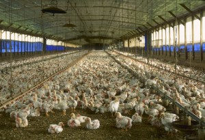 Chicken Farm, Florida