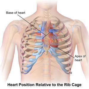 Heart & Ribcage