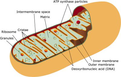 The Function of Mitochondria